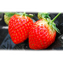 Fresh Strawberry (Japan)